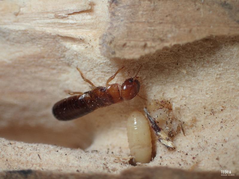 アメリカカンザイシロアリの落翅虫