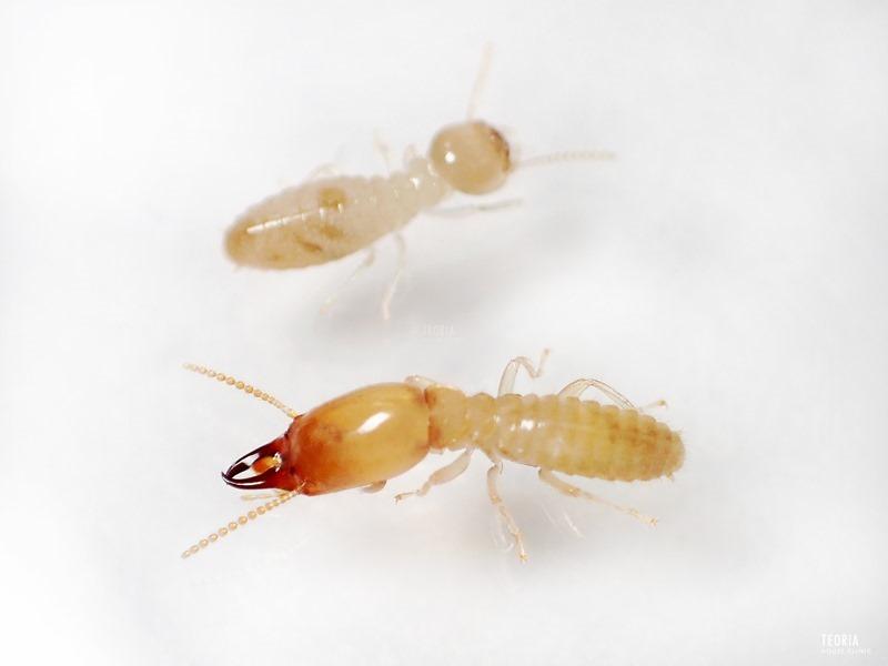 ヤマトシロアリの兵蟻