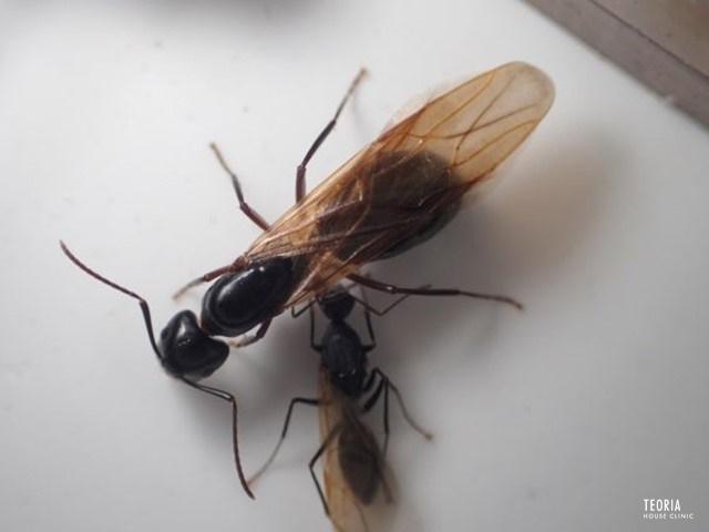 黒い 羽 アリ