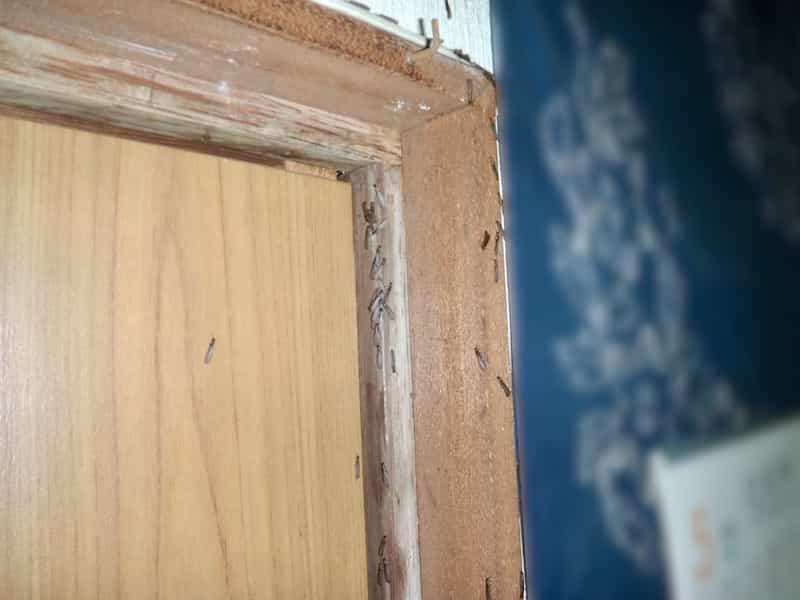 室内の黒い羽アリ