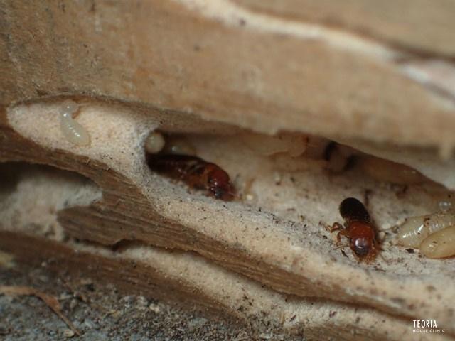 アメリカカンザイシロアリの生殖虫