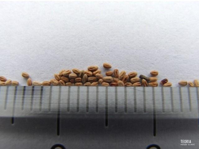 俵状のカンザイシロアリの糞