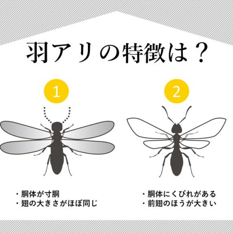 羽アリの特徴