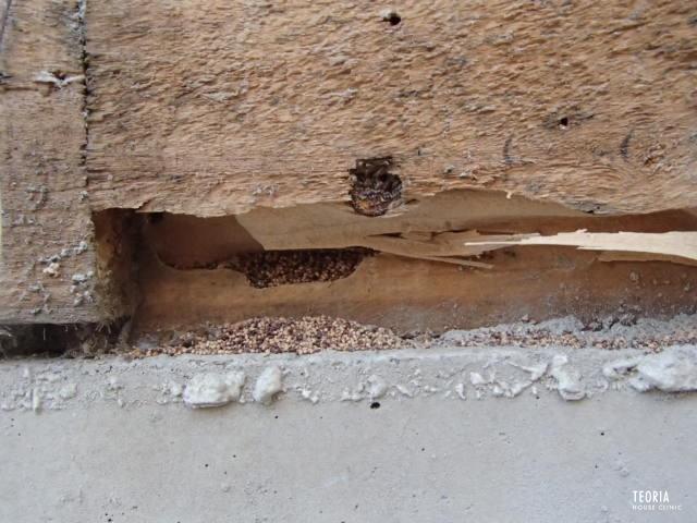 アメリカカンザイシロアリの糞の排出口