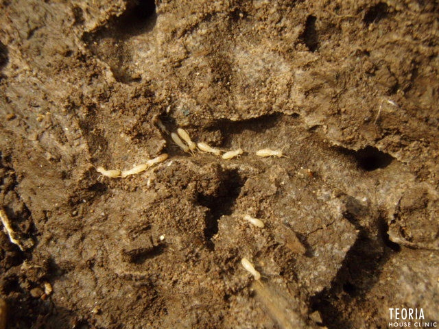 土の中のシロアリ