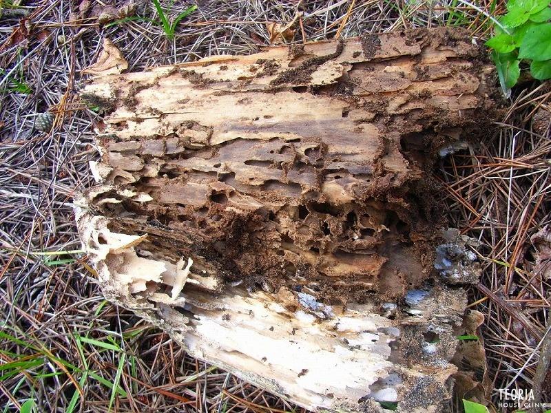 ボロボロになった朽ち木