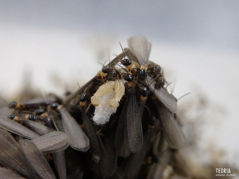 シロアリの羽アリ