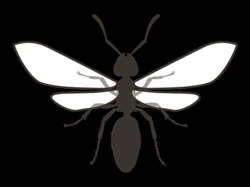 翅を広げているクロアリ