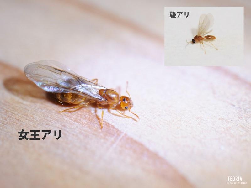キイロシリアゲアリの羽アリ