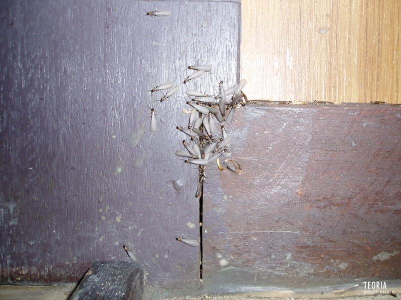 室内で発生する羽アリ