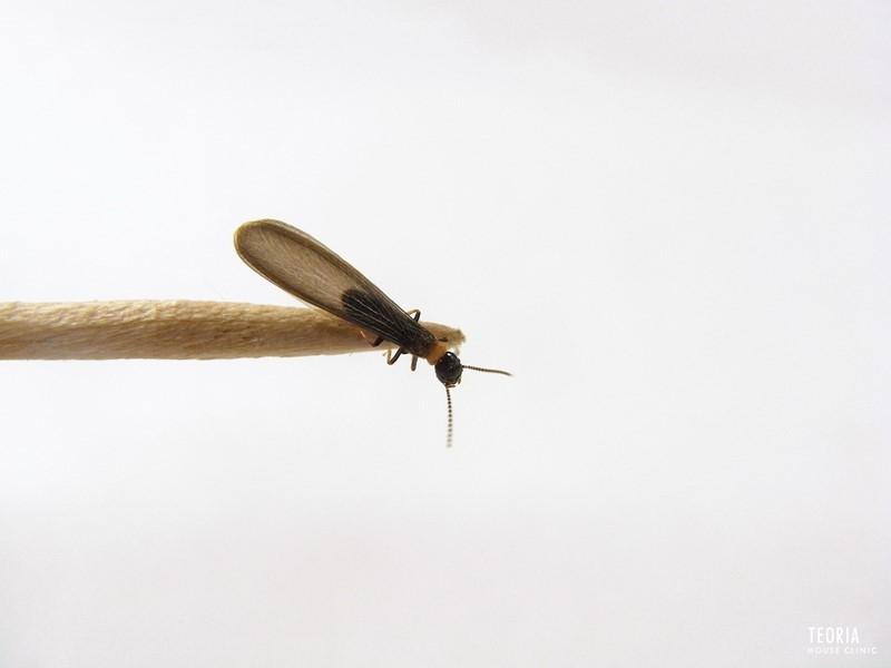 ヤマトシロアリの羽アリ