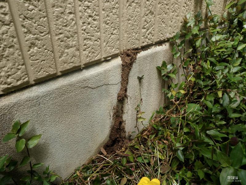 黒アリの蟻道